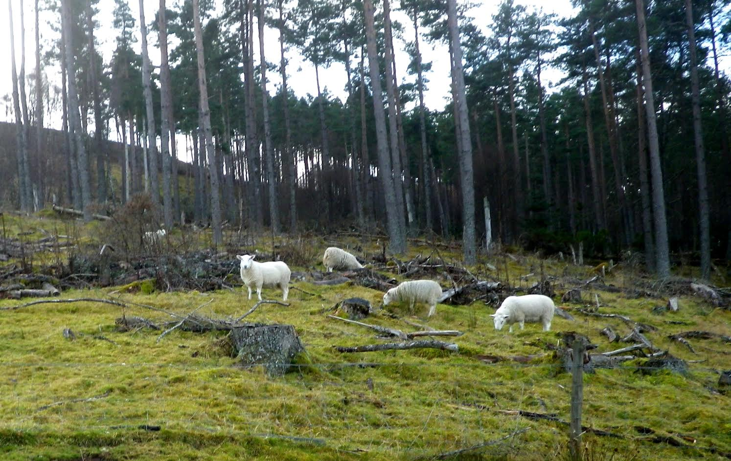 'Biosecurity risk': Stray sheep in Scotland's forests to become a thing of the past