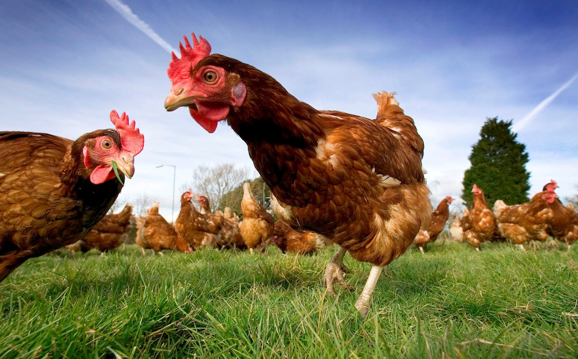 Report released showing top global businesses who lead in farm animal welfare
