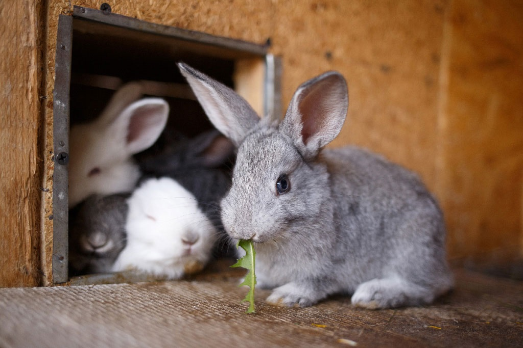 European rabbit farmers urged to phase out battery cages and replace them with alternatives