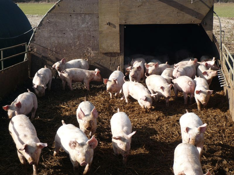 Controversial 15,000-pig farm begins construction in Northern Ireland