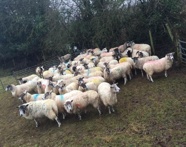 Police pursue animal cruelty charges after 52 stolen sheep found in Yeovil