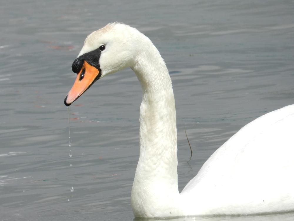 First Northern Ireland bird flu case found in wild swan