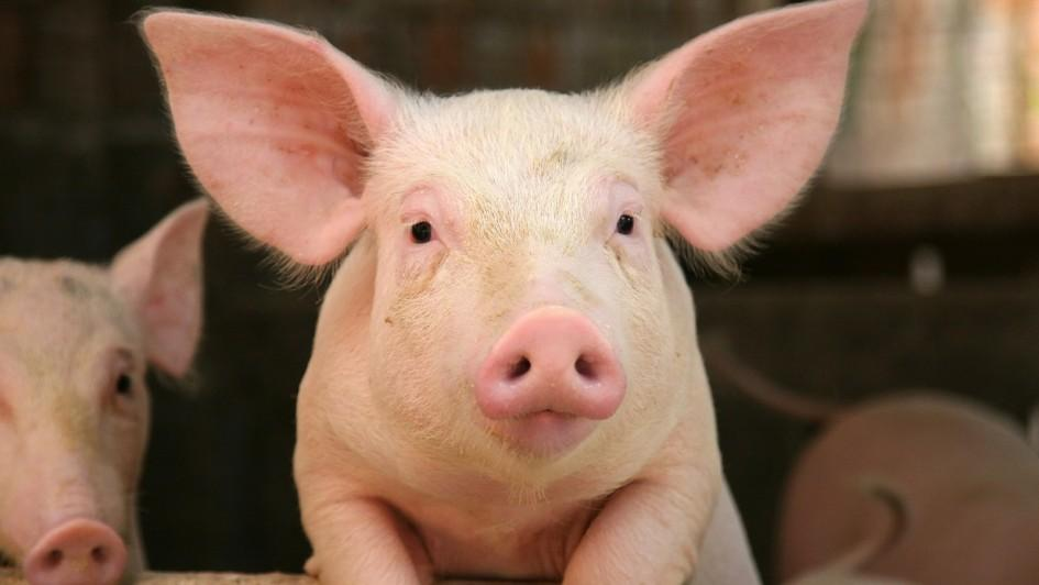 Red Tractor pig producers to use electronic medicine book for antibiotic recording purposes