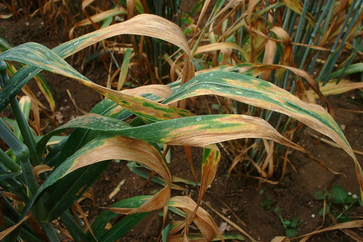 Damaging wheat rust makes further advances in Europe