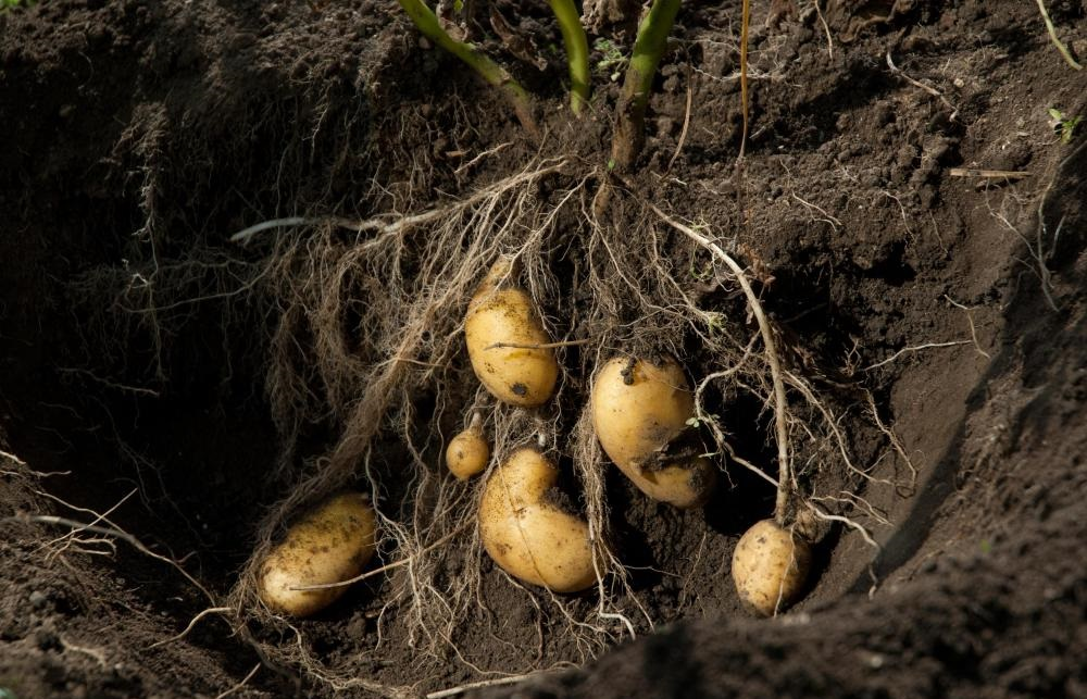 Potato farmers facing payment penalties of up to 30 per cent with 'little or no explanation'