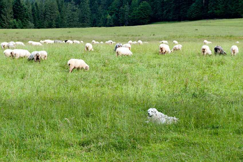 It is an offence to allow a dog to worry livestock (Stock photo)