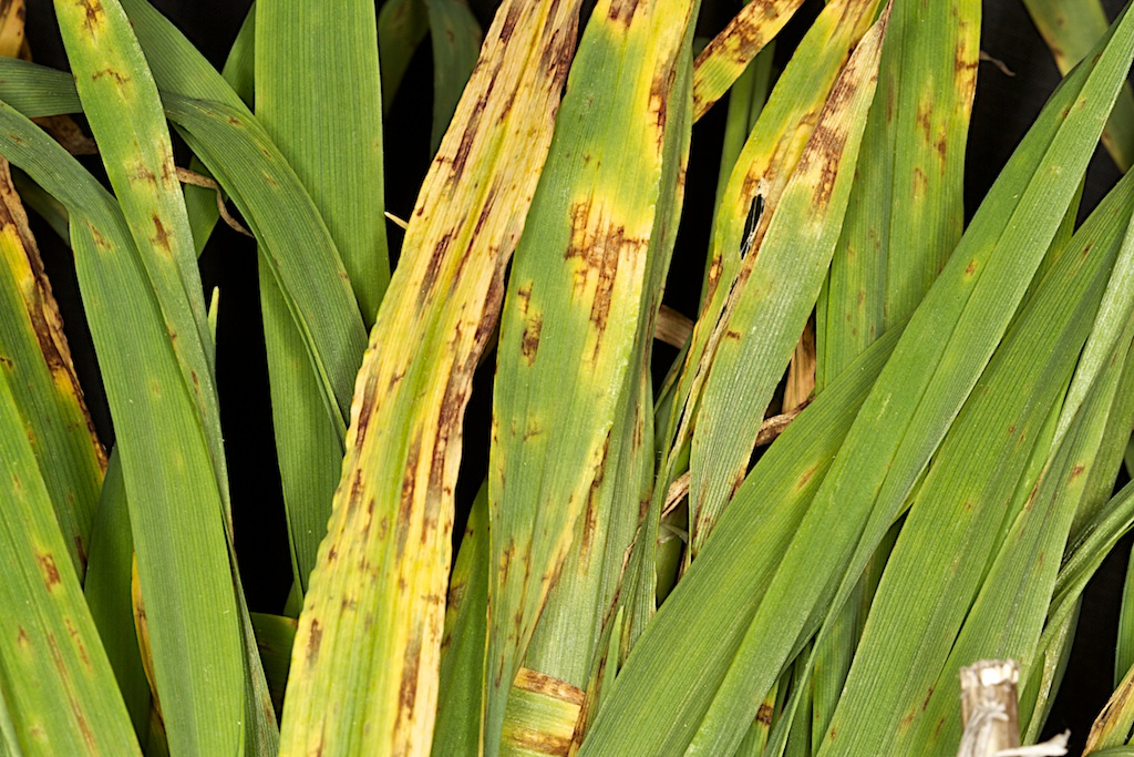 Researchers discover SDHI fungicide resistance in key barley disease