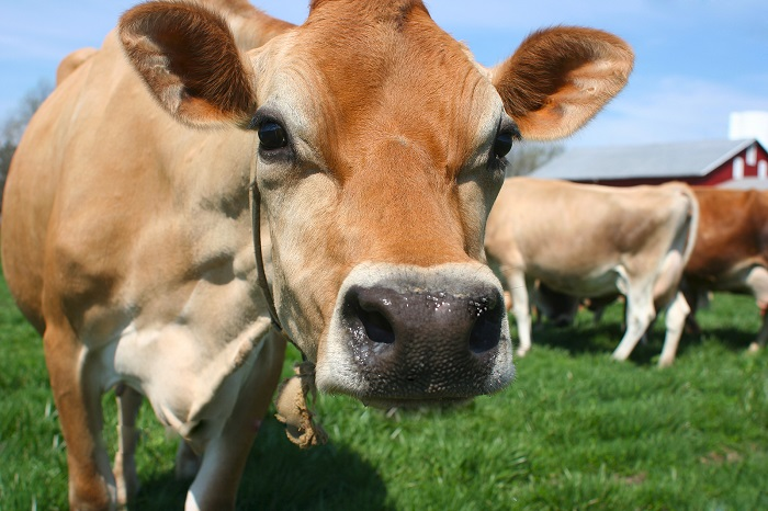 Jersey farmers told to meet new standards or have subsidies cut