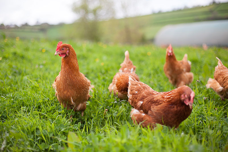 Avian flu 'postcode lottery' putting free range egg businesses at risk, warns sector