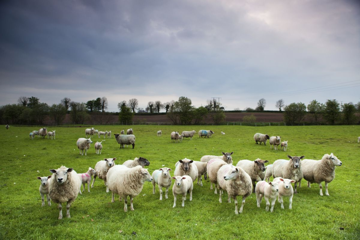 Next few years 'critical': Sheep industry to focus on growing domestic market
