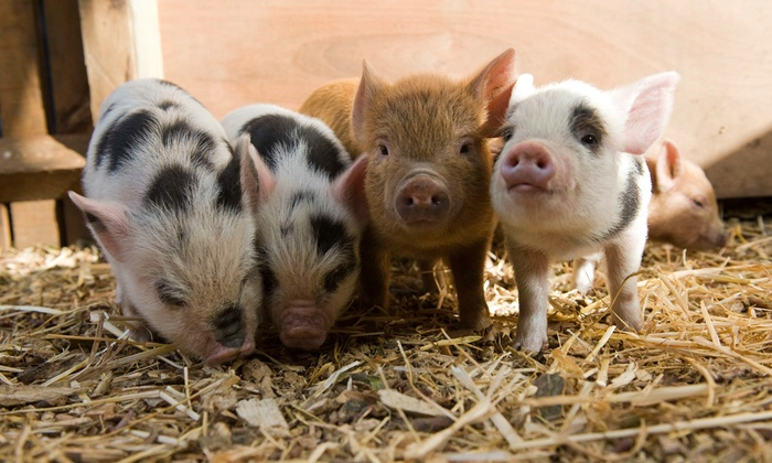 Dispute over tenancy of land means more than 50 pigs face eviction from farm