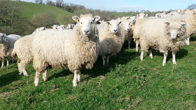 Sheep rustlers steal 100 sheep worth £13,000 near Falkirk