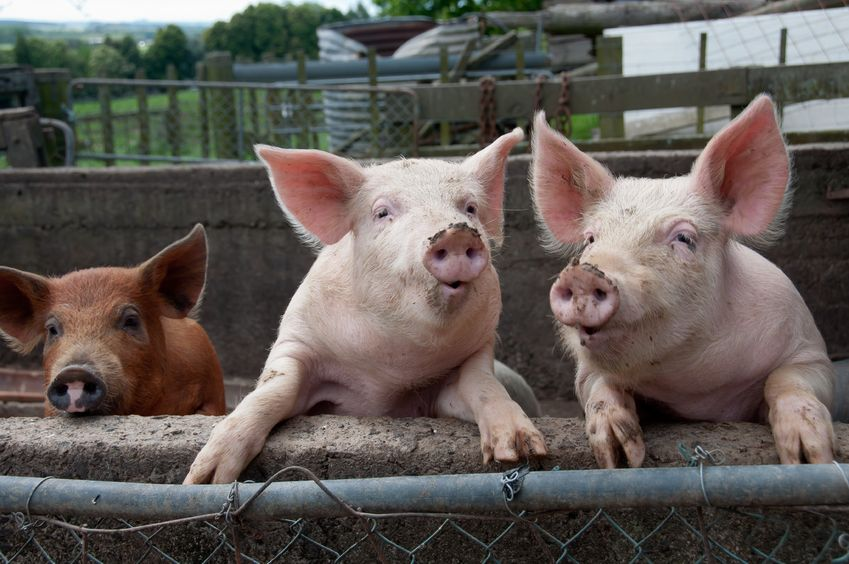 Gene-edited pigs show signs of resistance to major viral disease
