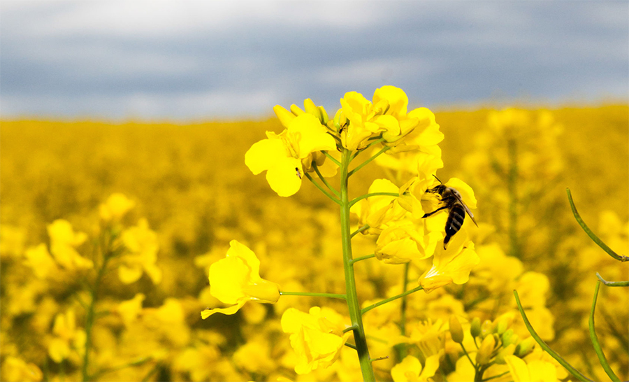 One third of Scottish farmers blame neonicotinoid ban for crop damage