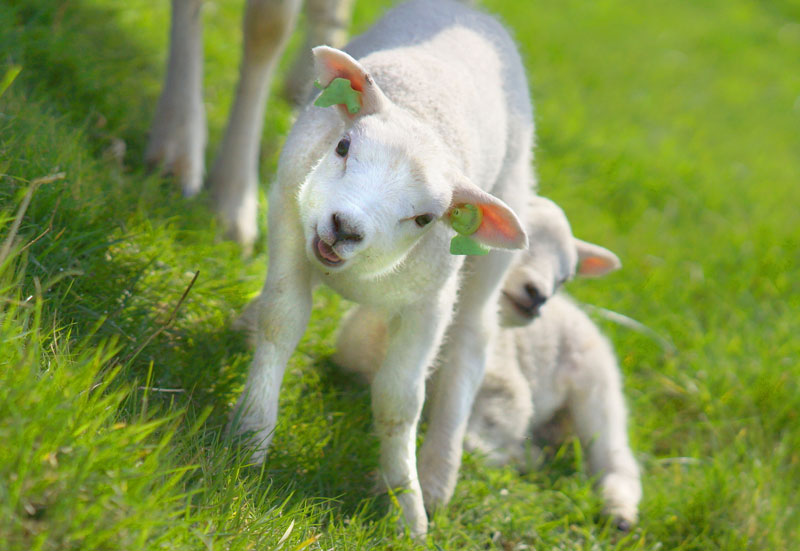 Scientists discover reason why lambs are born in springtime