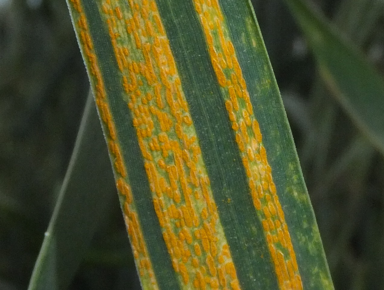 Yellow rust of wheat is one of the three wheat rust diseases principally found in wheat grown in cooler environments