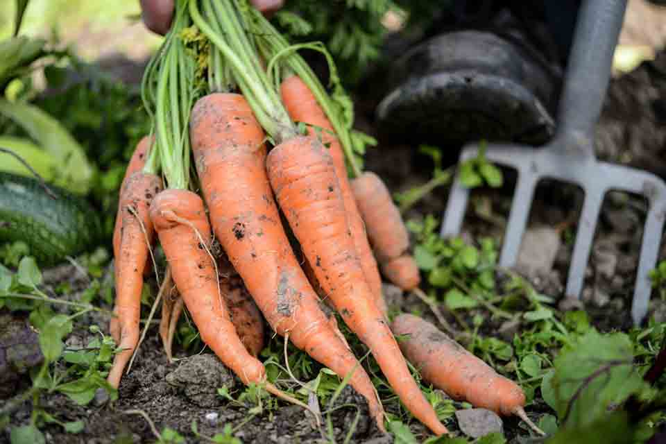 The British Carrot Growers Association said the loss of linuron in carrot and parsnip crops 'cannot be understated'