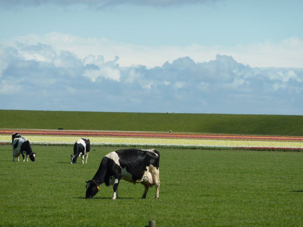Netherlands dairy cow cull doubles in plan to reduce phosphate emissions