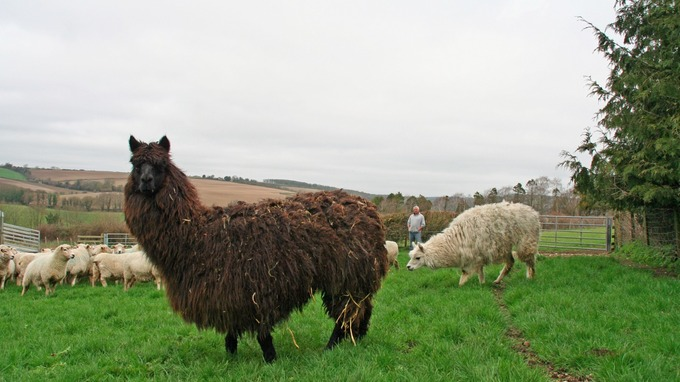 Alpacas watch over flocks (Photo: NFU)