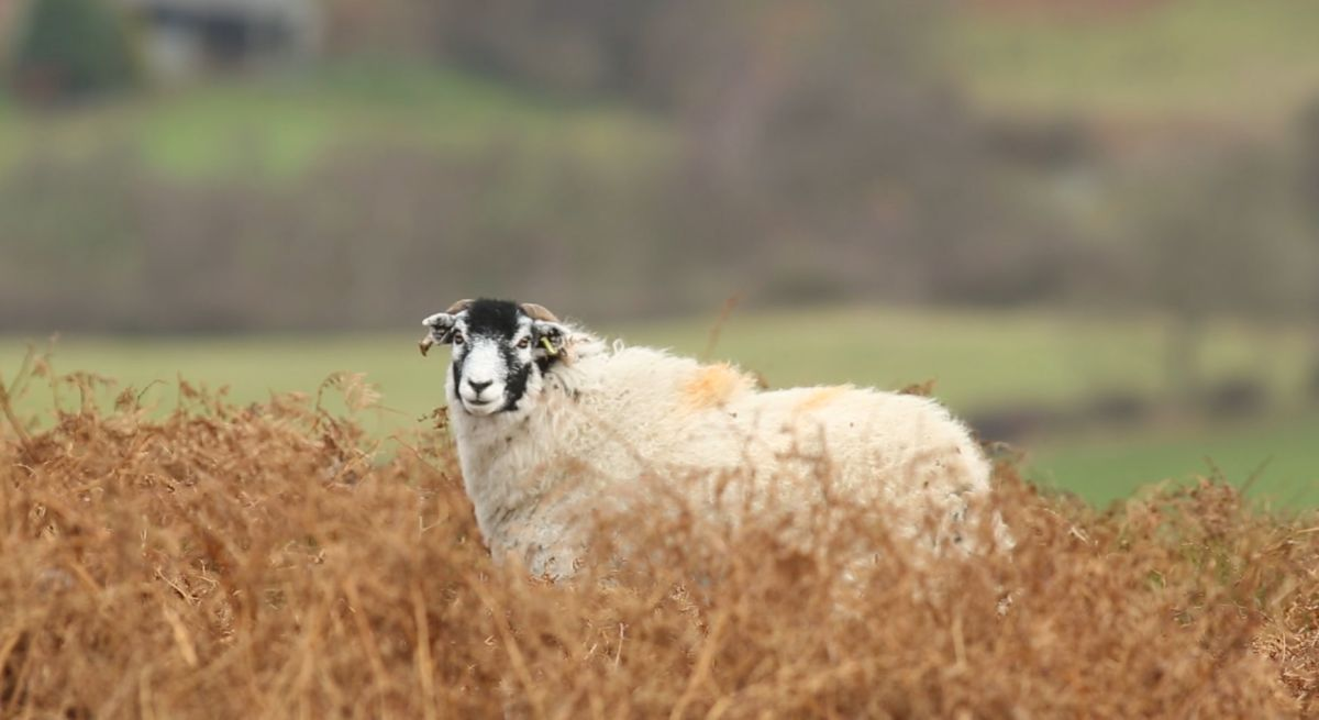 Farming 'strain' from government BPS delays, Farmers' Union of Wales says