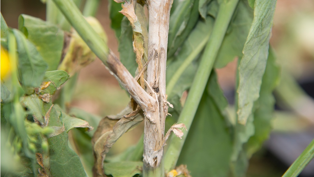 Sclerotinia infection risk forecasts return