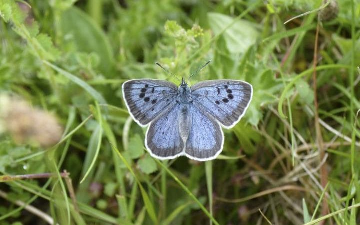 "National Trust says the future of farming and the environment were ""inextricably linked"" and they wanted both to thrive (Photo: Large Blue Butterflies)"