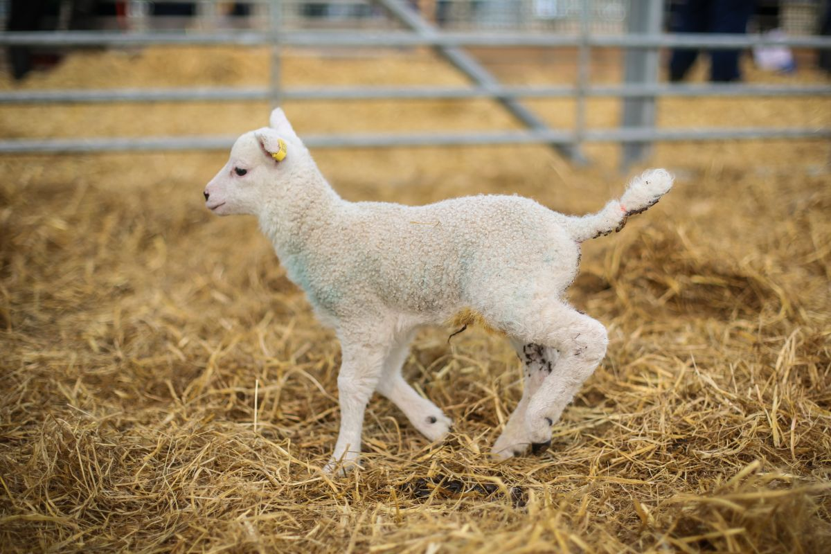 Events like Lambing Sunday 'generates interest and can attract British workers post-Brexit'
