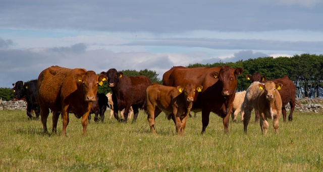Scottish cattle reaches lowest level since 1950s