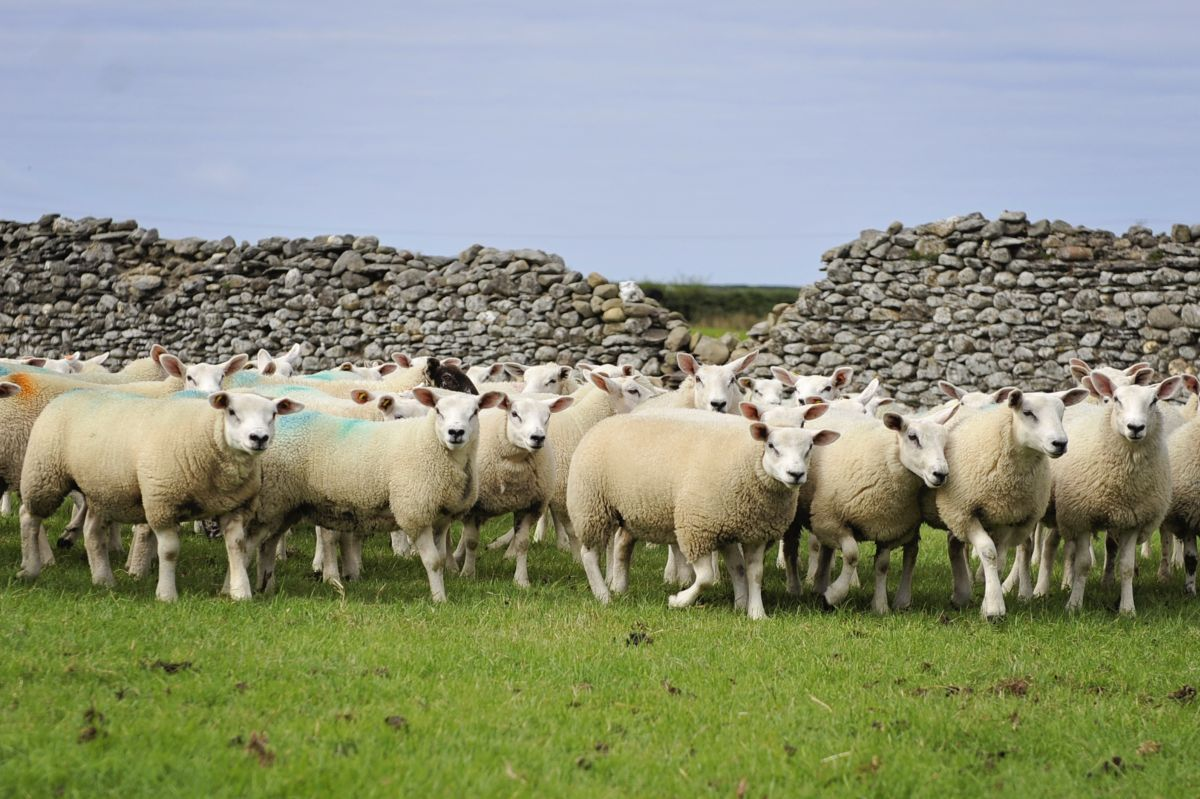 Local farmers at risk as 79 sheep stolen in Lancashire