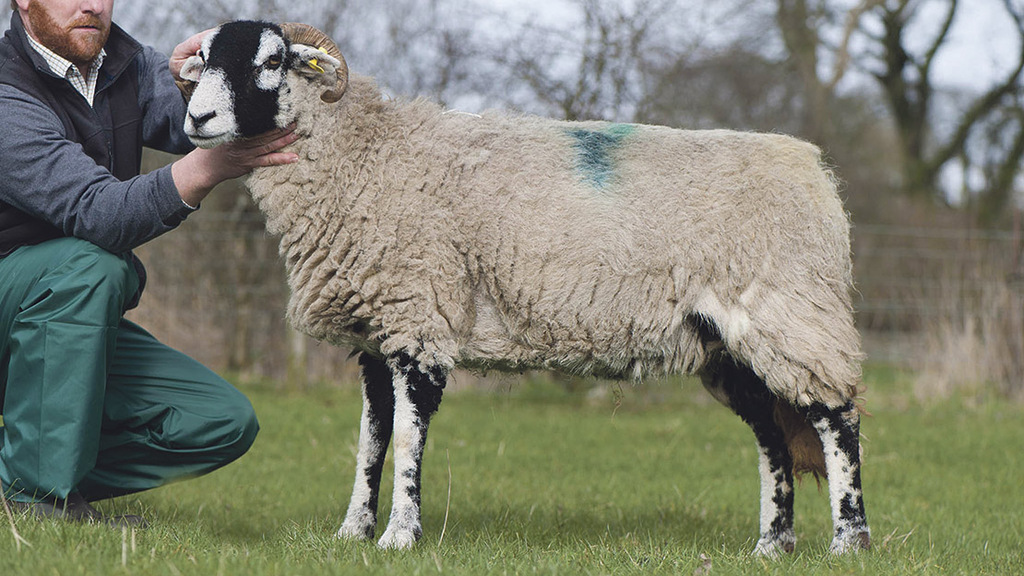 Up to 30 sheep stolen in North Yorkshire