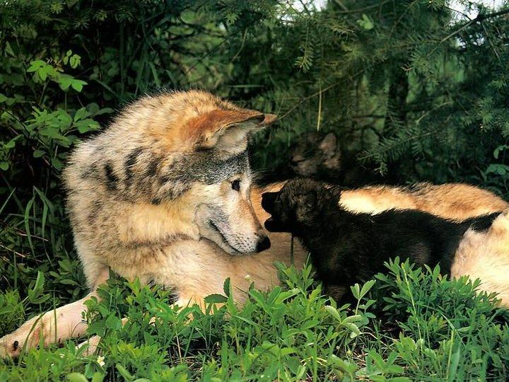 The sheep industry is worried as the rewilding debate is actively widening to include wolves
