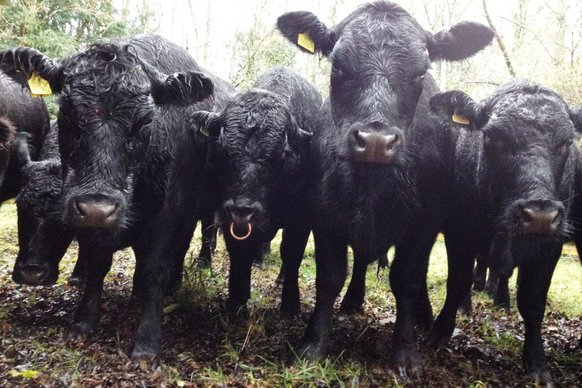 Farmer creates the world's first Aberdeen Angus tourist trail