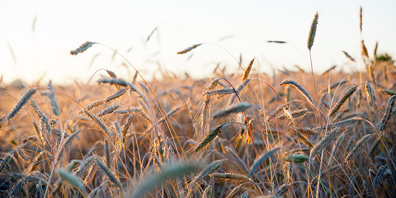 Rye genome is important for breeding better wheat or barley