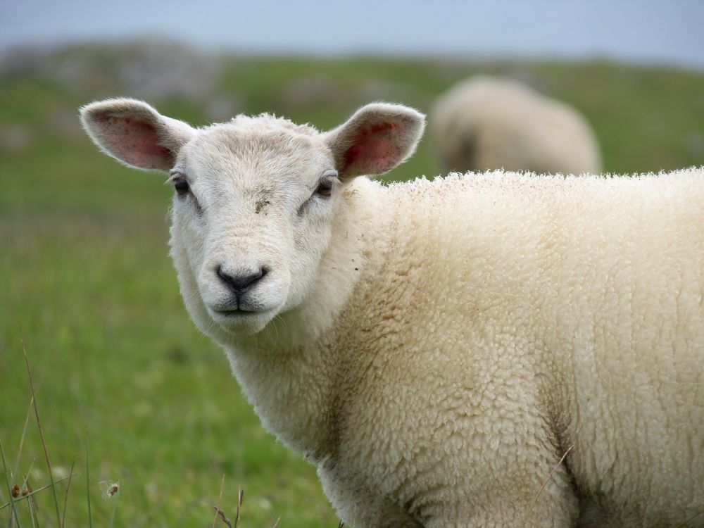Officers find 13 sheep dumped by rustlers in Scotland
