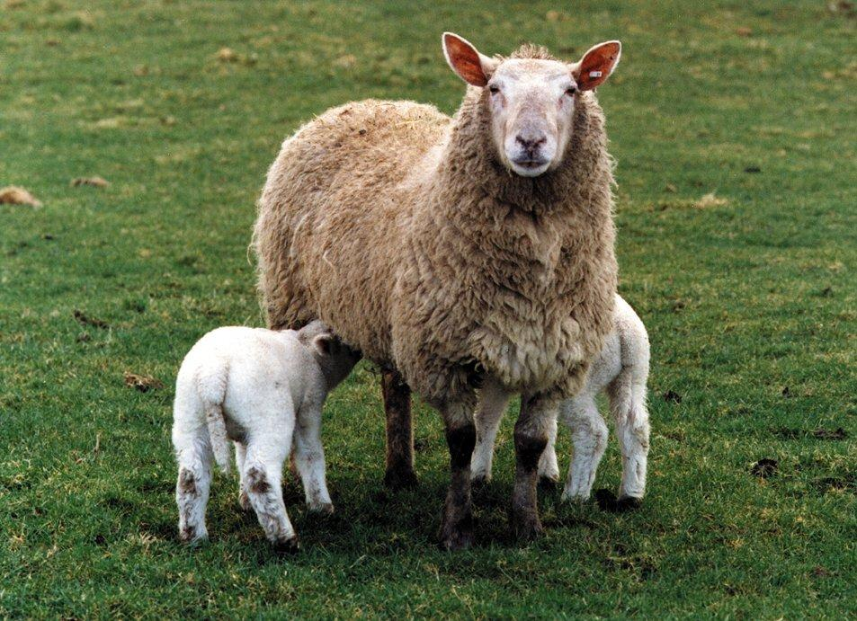 Sheep farmers warned over parasite in pregnant ewes