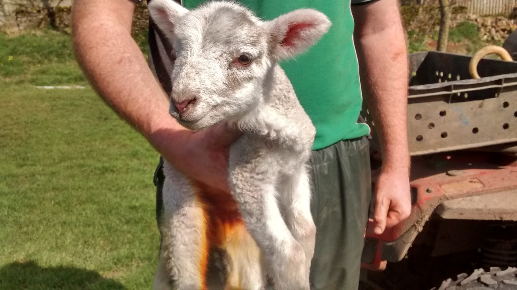 Hole in one for lost lamb who scores new home after rescue from golf course