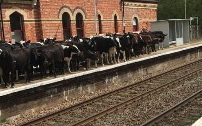 Cows cause delays on train line in Kent by gathering on the platform