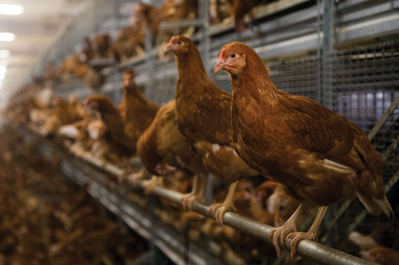 RSPCA needs to put bird welfare first, says free range egg association
