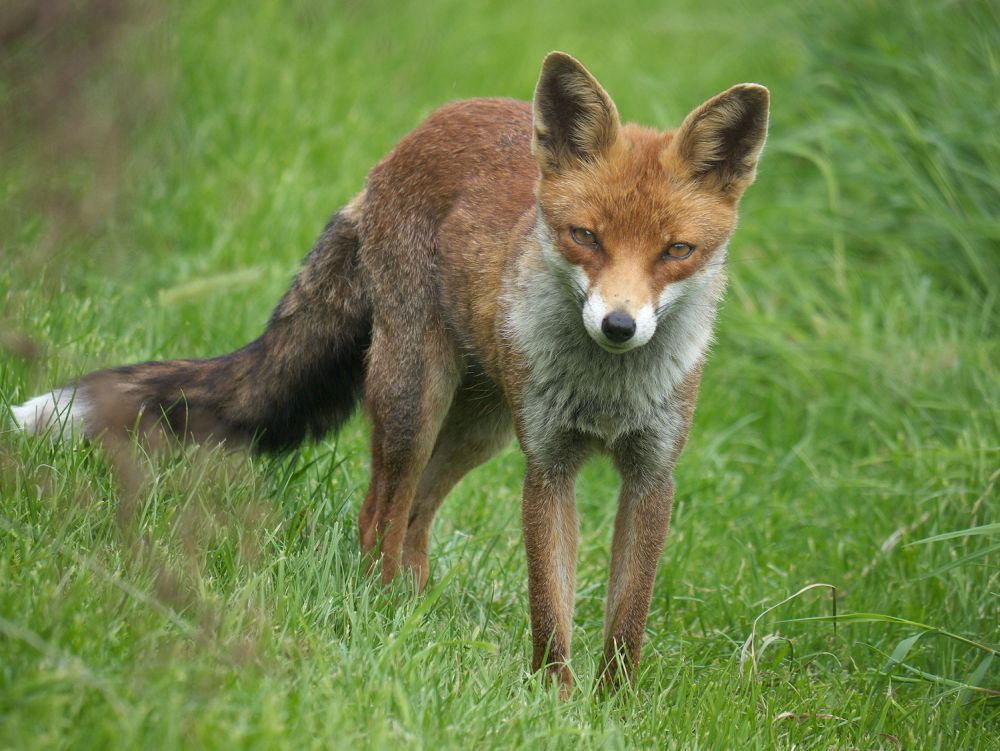 The foxes have cost the farmer almost £1,000 in lost revenue (Stock photo)
