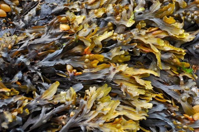Trial to start UK's first seaweed farm commences - FarmingUK News