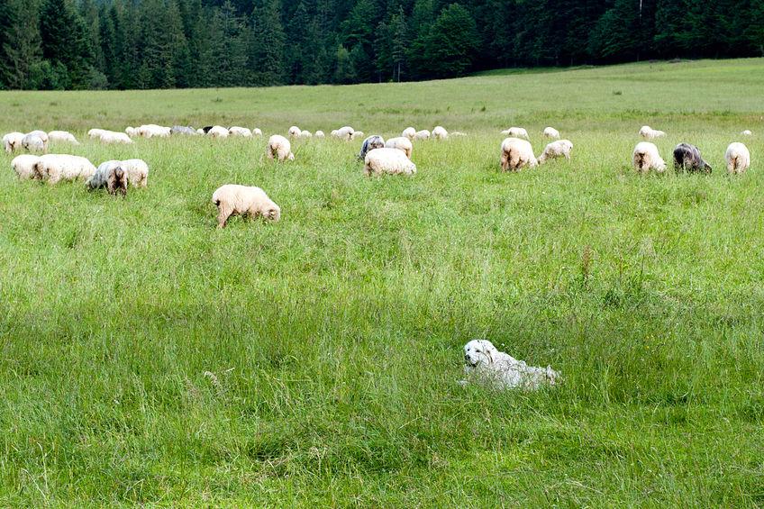 Dog massacres thirty lambs on farm in Wales