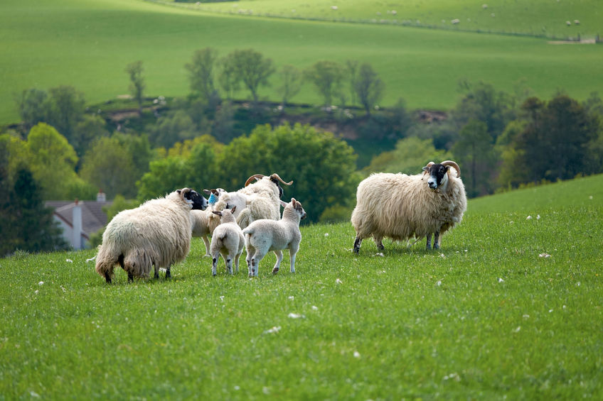 Welsh farmers express frustrations over imported lamb in retailers