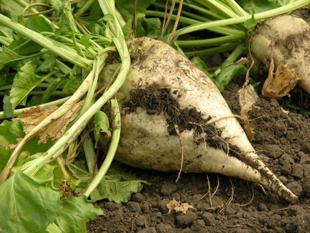 Six new varieties of sugar beet make it through strict field trials