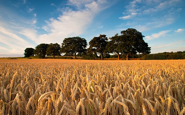 Record high for British wheat used for milling