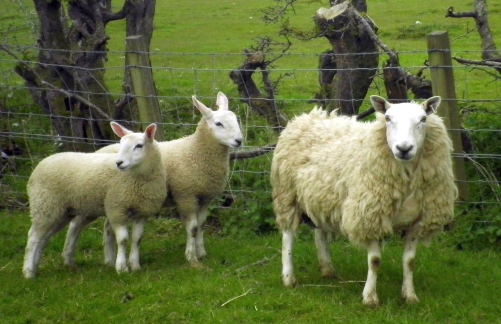 Sheep rustlers steal more than 50 sheep in Scotland