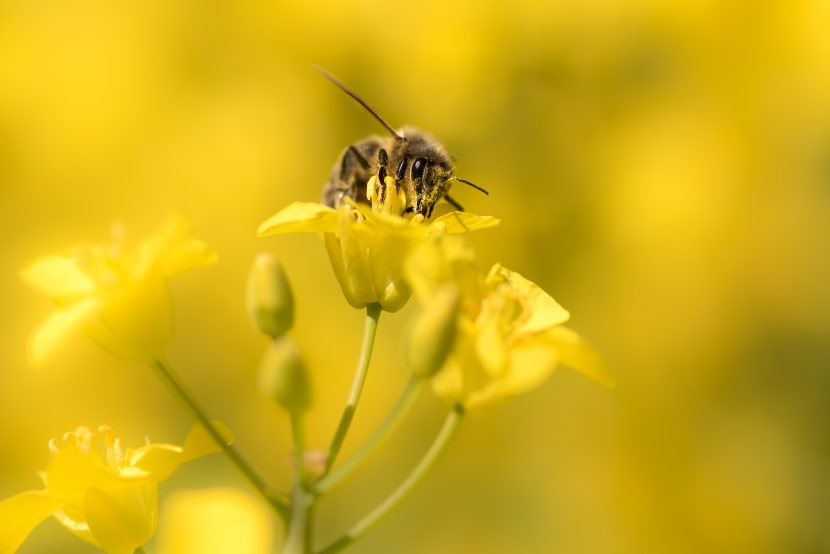 Scientists find positive correlation between bee health and presence of agriculture