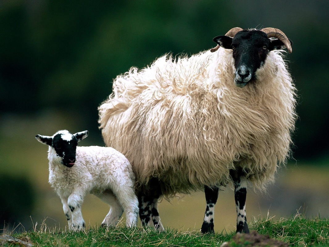 Sheep rustlers steal 30 sheep from a farm in Isle of Skye