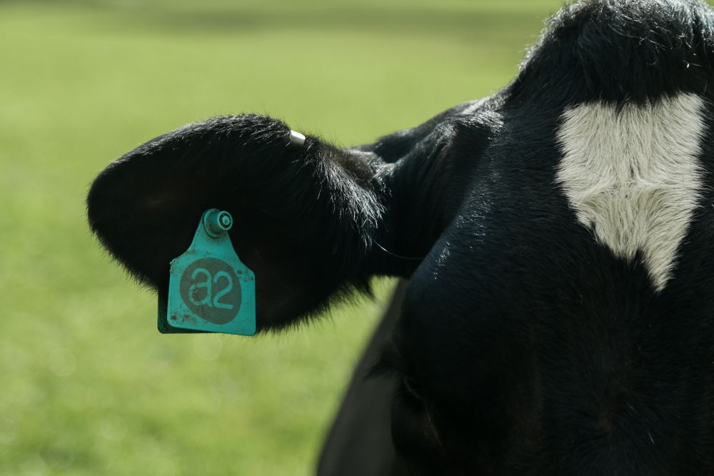 Video: Dairy farmer shows off easily-digestable 'A2 milk' as alternatives grow