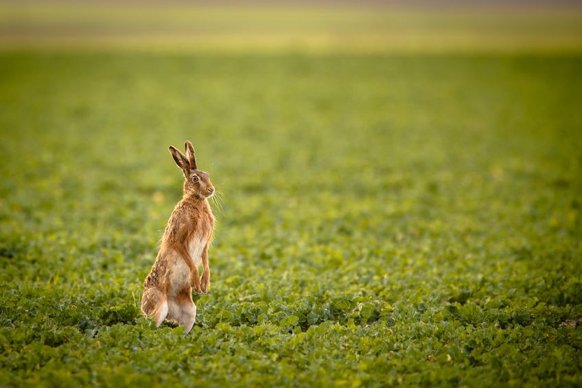 Britain's brown hares could benefit from non-native crops grown for bioenergy