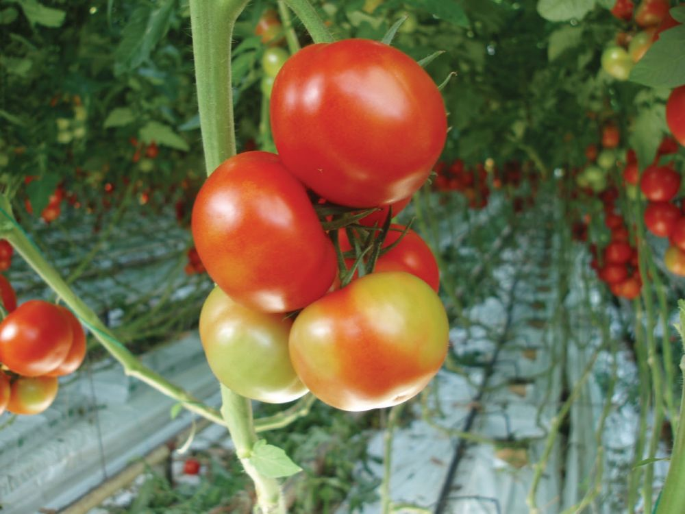 Devastating tomato disease prompts industry to issue new biosecurity measures